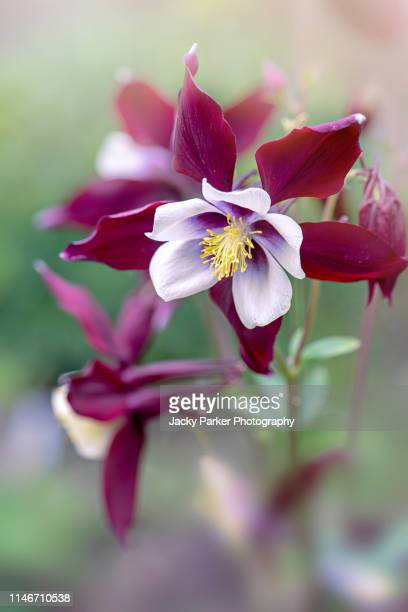 close-up image of a beautiful spring flowering aquilegia vulgaris red flower also known as a columbine or granny's bonnet - columbine flower stock pictures, royalty-free photos & images