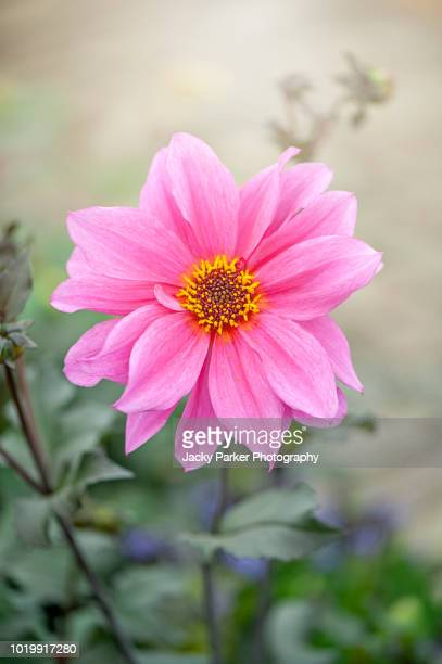 Close-up image of a beautiful summer flowering, pink Dahlia flower, front facing in hazy sunshine