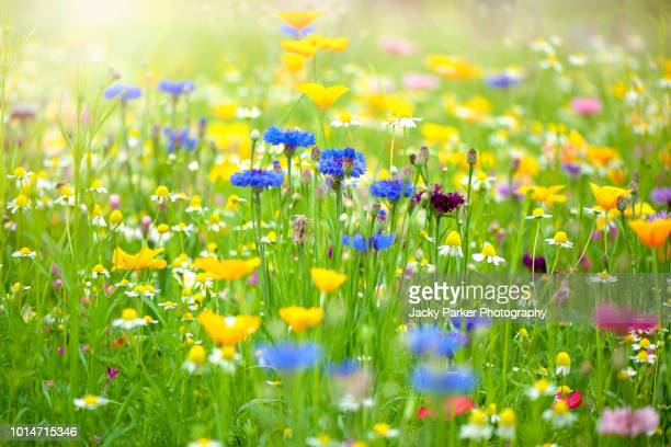 close-up image of a beautiful summer wildflower meadow in hazy sunshine - fleurs des champs photos et images de collection