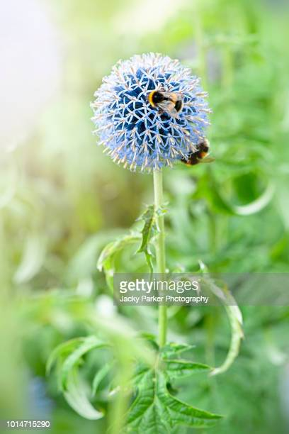 Close-up image of a bee collecting pollen from a summer flowering blue, Echinops ritro, the southern globethistle flower
