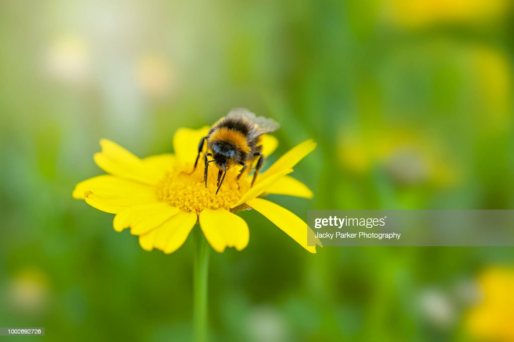 Close-up image of a bee collecting pollen from a yellow Corn Marigold summer wild flower : Stock Photo