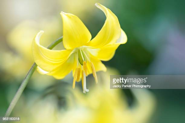close-up image of a bright yellow, spring flowering, dog's tooth violet also known as erythronium pagoda - pagoda stock pictures, royalty-free photos & images