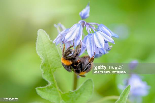 close-up image of a bumblebee collecting pollen from a spring english bluebell flower also known as hyacinthoides non-scripta - bumblebee stock pictures, royalty-free photos & images
