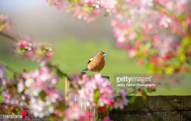 close-up image of a common chaffinch garden bird perched on the branch of a crab apple tree with blossom - bird stock pictures, royalty-free photos & images