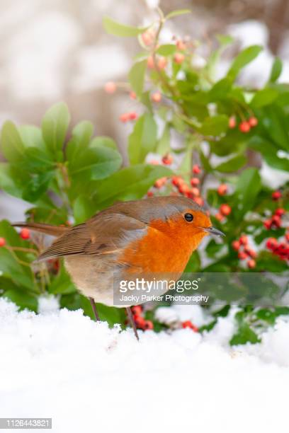 close-up image of a european robin garden bird in the snow, also known as robin red breast or erithacus rubecula - songbird stock pictures, royalty-free photos & images