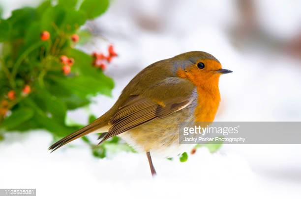 close-up image of a european robin in the snow with holly leaves and red berries - pettirosso foto e immagini stock