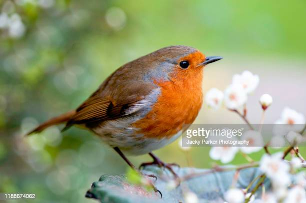 close-up image of a european robin, known simply as the robin or robin redbreast in the british isles - springtime stock pictures, royalty-free photos & images