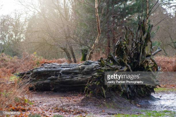 close-up image of a fallen tree in the new forest national park, hampshire, england, showing the root pattern - nature reserve stock pictures, royalty-free photos & images