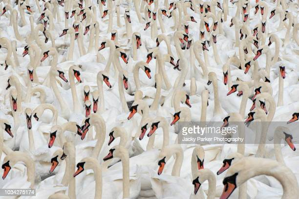 close-up image of a herd of white mute swans - cygnus olor - swan stock pictures, royalty-free photos & images