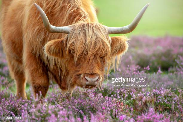 close-up image of a highland cow grazing amongst the purple heather in the new forest national parker, hampshire, uk - highland cattle stock photos and pictures