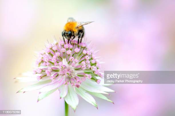 close-up image of a honey bee collecting pollen from a summer flowering, pink astrantia flower also known as masterwort - bees on flowers stock pictures, royalty-free photos & images
