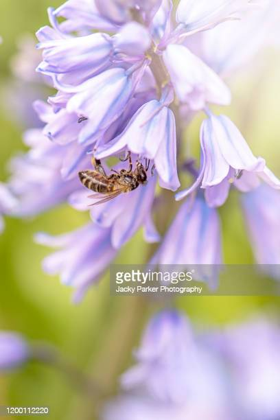close-up image of a honey bee collecting pollen from spring bluebell flowers in hazy sunshine - bluebell stock pictures, royalty-free photos & images
