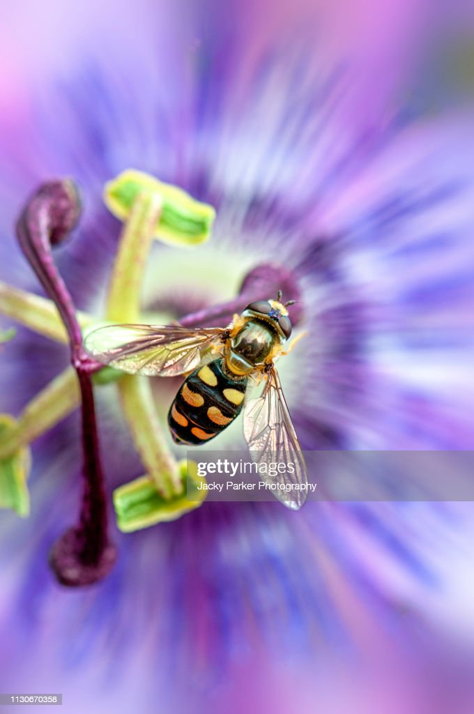 Close-up image of a Hover fly collecting pollen from a purple summer Passion flower : Stock Photo
