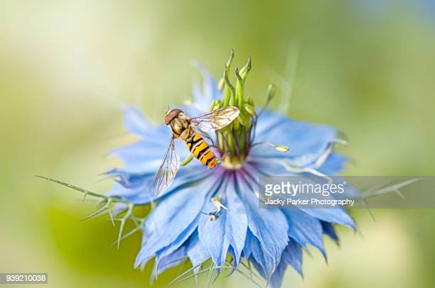 Close-up image of a Hover-fly collecting pollen from a Nigella blue flower, also known as Love-in-a-mist