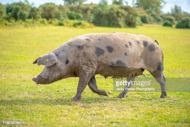 close-up image of a large female pig - sow in the new forest national park uk during pannage season to eat acorns - 雌豚 ストックフォトと画像