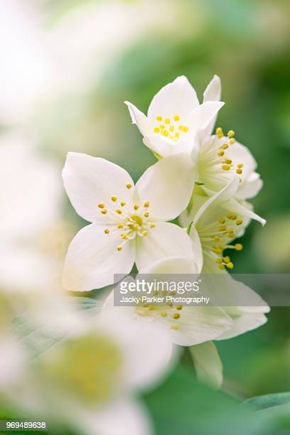 close-up image of a mock orange shrub, white summer flower also known as philadelphus, image taken against a soft background. - おしべ ストックフォトと画像