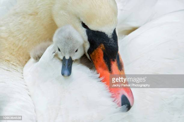 Close-up image of a Mute Swan and Cygnet - Cygnus Olor, cuddled up together