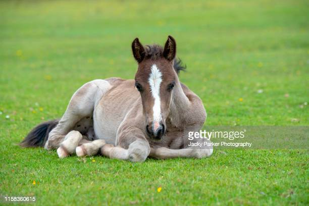 close-up image of a new forest pony foal resting in the summer sunshine - cute stock pictures, royalty-free photos & images
