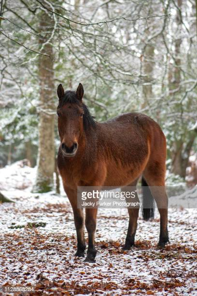 close-up image of a new forest pony standing in the snow in the new forest national park, hampshire, england - animal selvagem - fotografias e filmes do acervo