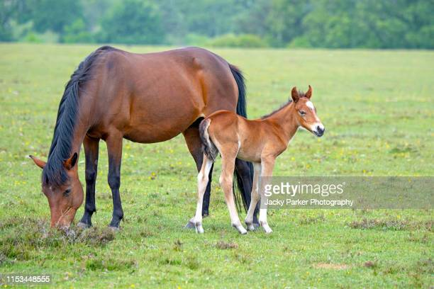 close-up image of a new forest pony with her young foal in the new forest national park, hampshire, england, uk - pony stock pictures, royalty-free photos & images