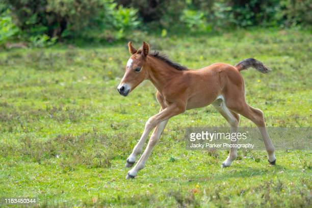 close-up image of a new forest young pony foal in the new forest national park, hampshire, england, uk - pony stock pictures, royalty-free photos & images