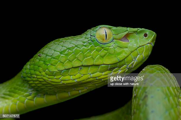 Close-up image of a Siamese Peninsula Pitviper