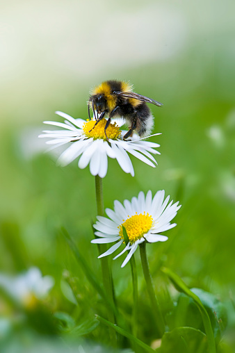 Close-up image of a single Bumble Bee collecting pollen from a garden white daisy flower - gettyimageskorea