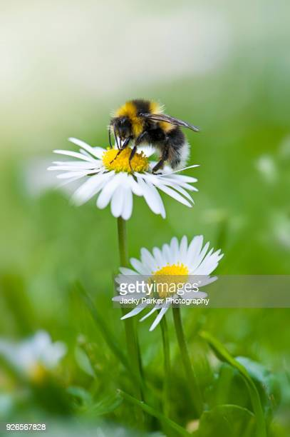 close-up image of a single bumble bee collecting pollen from a garden white daisy flower - bumblebee stock pictures, royalty-free photos & images