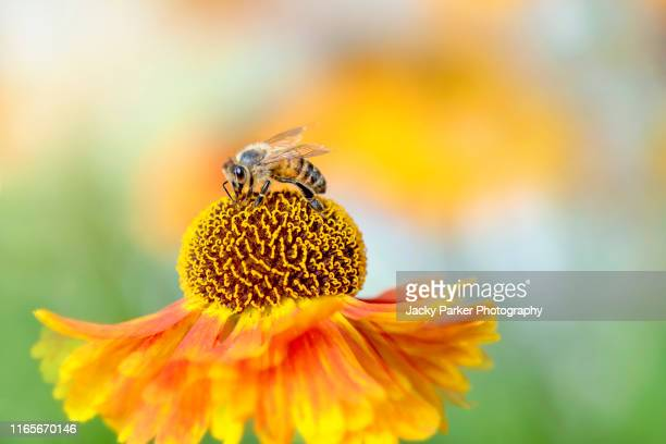 close-up image of a single helenium orange flower also known as sneezeweed with a honey bee collecting pollen in the summer sunshine - impollinazione foto e immagini stock