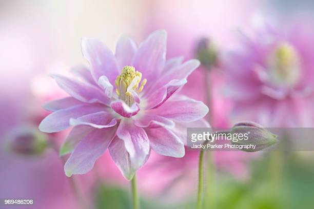 close-up image of a single pink aquilegia pink flower also known as columbine or granny's bonnet - columbine flower stock pictures, royalty-free photos & images