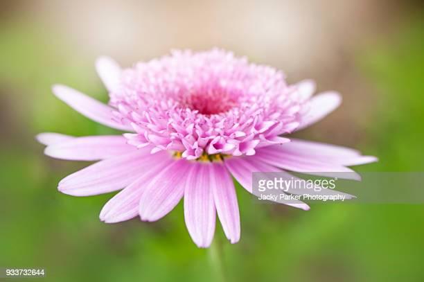 close-up image of a single pink argyranthemum 'vancouver' flower - chrysanthemum stockfoto's en -beelden