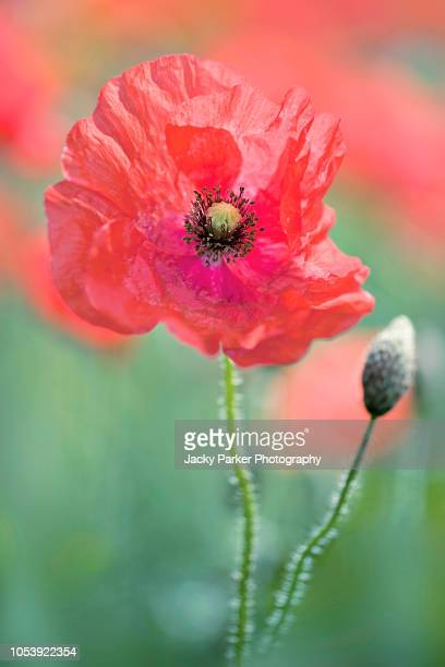 close-up image of a single red field poppy also known as common poppy, flanders poppy, corn poppy or just red poppy all are papaver rhoeas. - memorial day background stock pictures, royalty-free photos & images