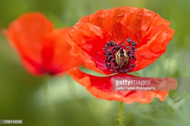 close-up image of a single, red field/corn poppy - papaver rhoeas summer wildflower - parte della pianta foto e immagini stock