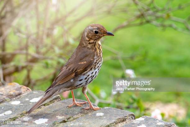 close-up image of a single song thrush sitting on a garden wall in soft spring sunshine - thrush stock pictures, royalty-free photos & images