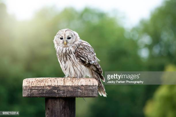 Close-up image of a single Ural owl (Strix uralensis) bird of prey