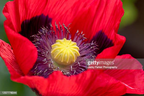 close-up image of a single, vibrant red opium poppy flower also called papaver somniferum - opium poppy stock pictures, royalty-free photos & images