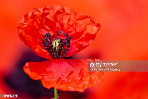 close-up image of a single vibrant red summer field poppy is also sometimes called common poppy, flanders poppy, corn poppy or just red poppy all are papaver rhoeas. - remembrance day stock pictures, royalty-free photos & images
