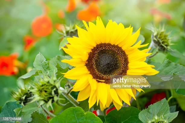 close-up image of a single vibrant yellow, sunflower also known as helianthus annus - flower head stock pictures, royalty-free photos & images