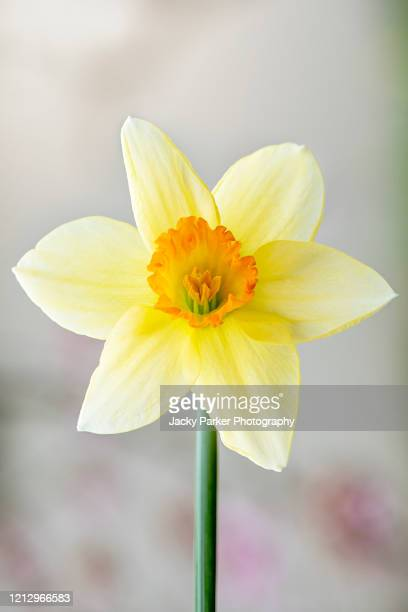 close-up image of a single yellow, spring daffodil flower also known as narcissus in soft sunshine - daffodils stock pictures, royalty-free photos & images