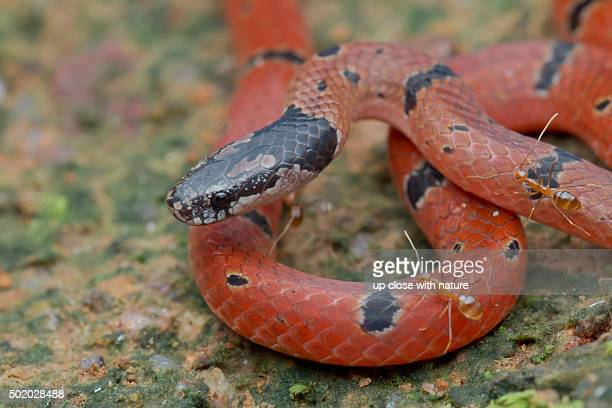 close-up image of a speckled coral snake - coral snake stock pictures, royalty-free photos & images
