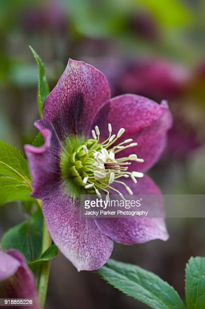 close-up image of a spring flowering, dark pink hellebore flower also known as the lenten rose or christmas rose - ヘレボルス ストックフォトと画像