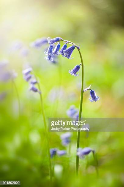 close-up image of a spring flowering english bluebell flower also known as hyacinthoides non-scripta - bluebell stock pictures, royalty-free photos & images