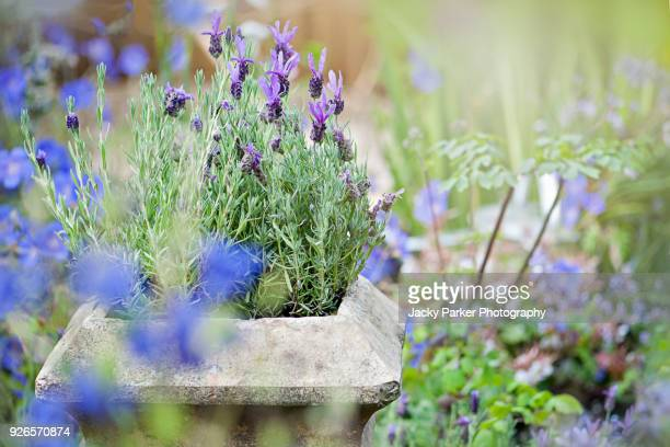 close-up image of a stone garden planter or container with scented lavender flowers in the summer sunshine - lavender plant stock pictures, royalty-free photos & images