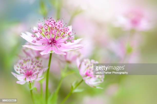 close-up image of a summer flowering, pink astrantia major flower also known as masterwort, taken against a soft bright background - high key stockfoto's en -beelden