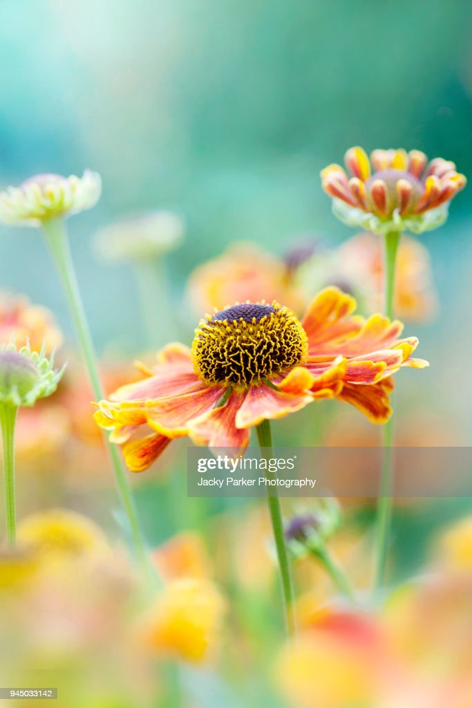 Close-up image of a vibrant orange Helenium summer flower also known as sneezeweed : Stock-Foto