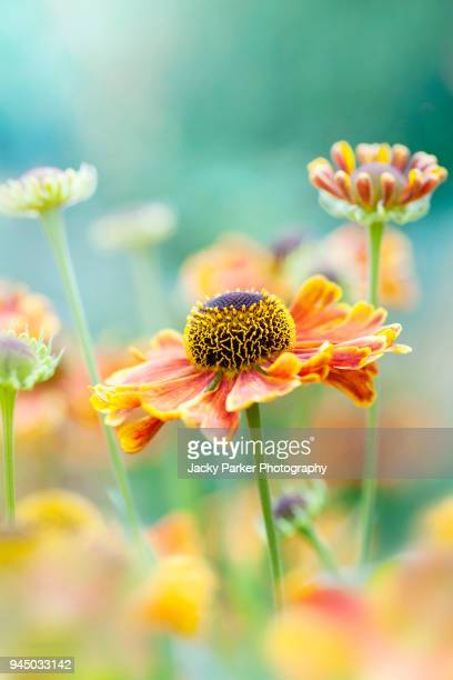 Close-up image of a vibrant orange Helenium summer flower also known as sneezeweed