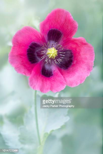 close-up image of a vibrant pink opium poppy also known as papaver somniferum - opium poppy stock pictures, royalty-free photos & images