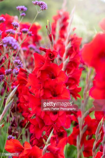 close-up image of a vibrant red gladioli flower also known as gladiolus or sword lily, in the soft summer sunshine - グラジオラス ストックフォトと画像