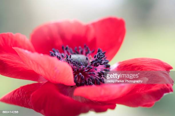 Close-up image of a vibrant red, spring flowering Anemone coronaria De Caen flower also known as a wind flower.