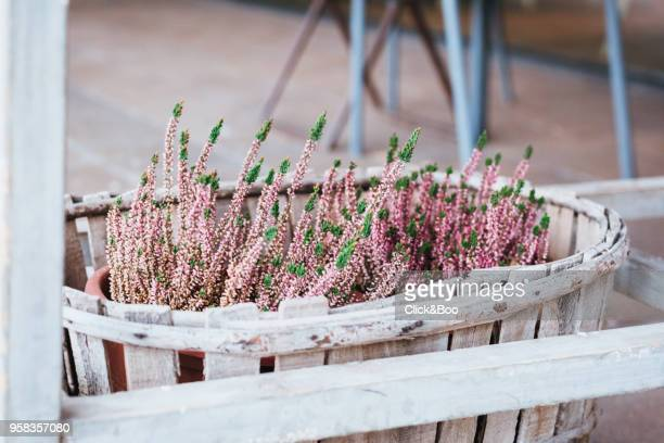 Close-up image of a wooden garden planter or container with scented lavender flowers